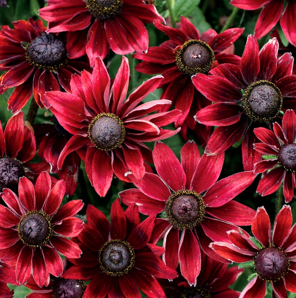 Nutrient Rich Clay Cherry Brandy Rudbeckia #Perennials #ClayTolerantPerennials #PlantsThatThriveinClay #Gardening #ClaySoil #TolerantofClaySoils