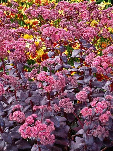 Nutrient Rich Soil Cherry Truffle Sedum #Perennials #ClayTolerantPerennials #PlantsThatThriveinClay #Gardening #ClaySoil #TolerantofClaySoils