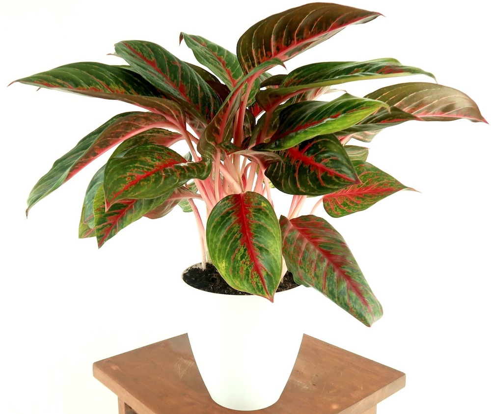 Air Purifying Plants Chinese Evergreen Garnet #HousePlants #AirCleaningPlants #AirPurifyingPlants #AirPurifyingHousePlants #IndoorPlants #CleanAir