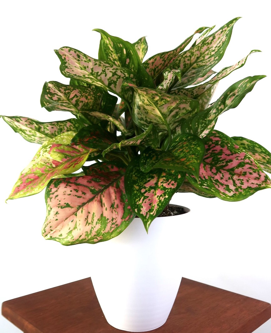 Improve Air Quality Chinese Evergreen Lady Valentine #HousePlants #AirCleaningPlants #AirPurifyingPlants #AirPurifyingHousePlants #IndoorPlants #CleanAir
