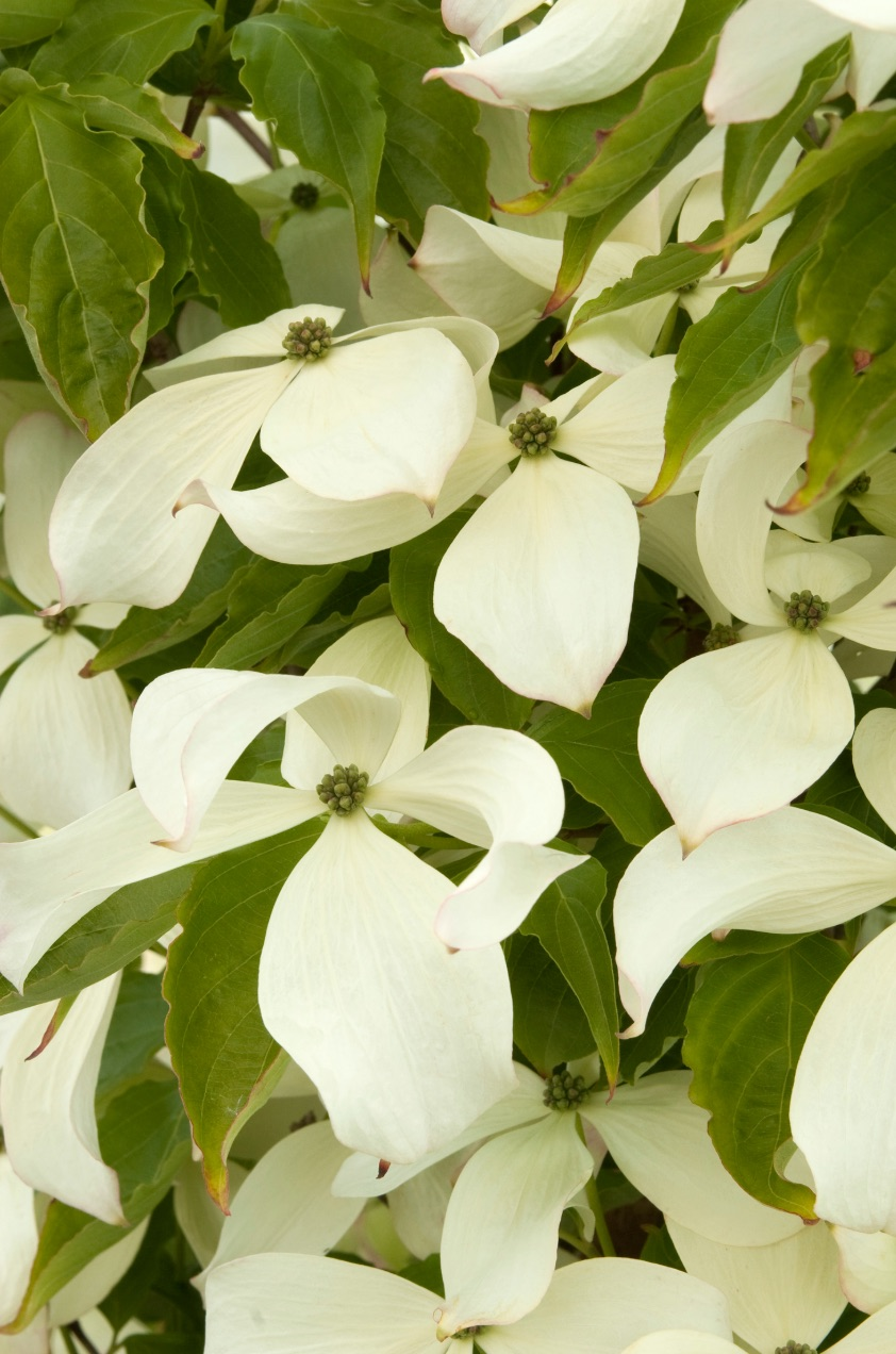 Acid Lovers Constellation Dogwood #Perennials #AcidLovingPerennials #AcidLovingPlants #Gardening #AcidicSoil