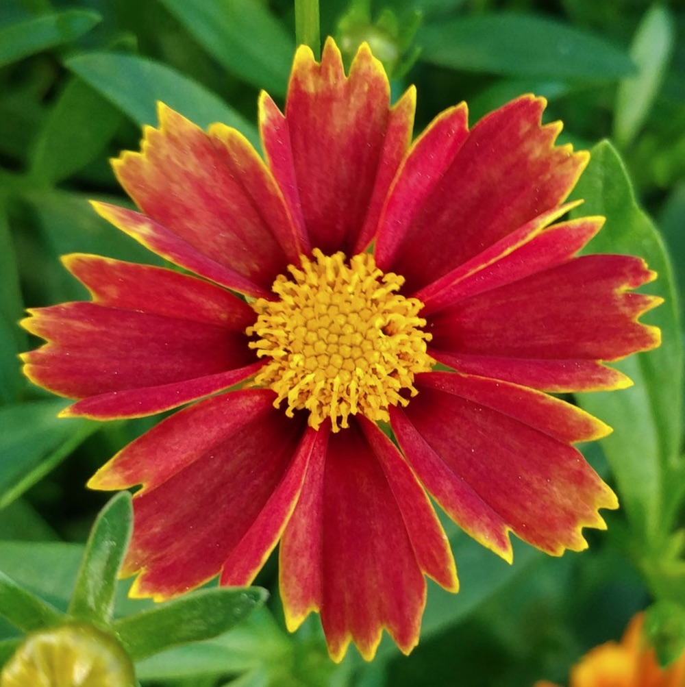 Nutrient Rich Clay Enchanted Red Coreopsis #Perennials #ClayTolerantPerennials #PlantsThatThriveinClay #Gardening #ClaySoil #TolerantofClaySoils