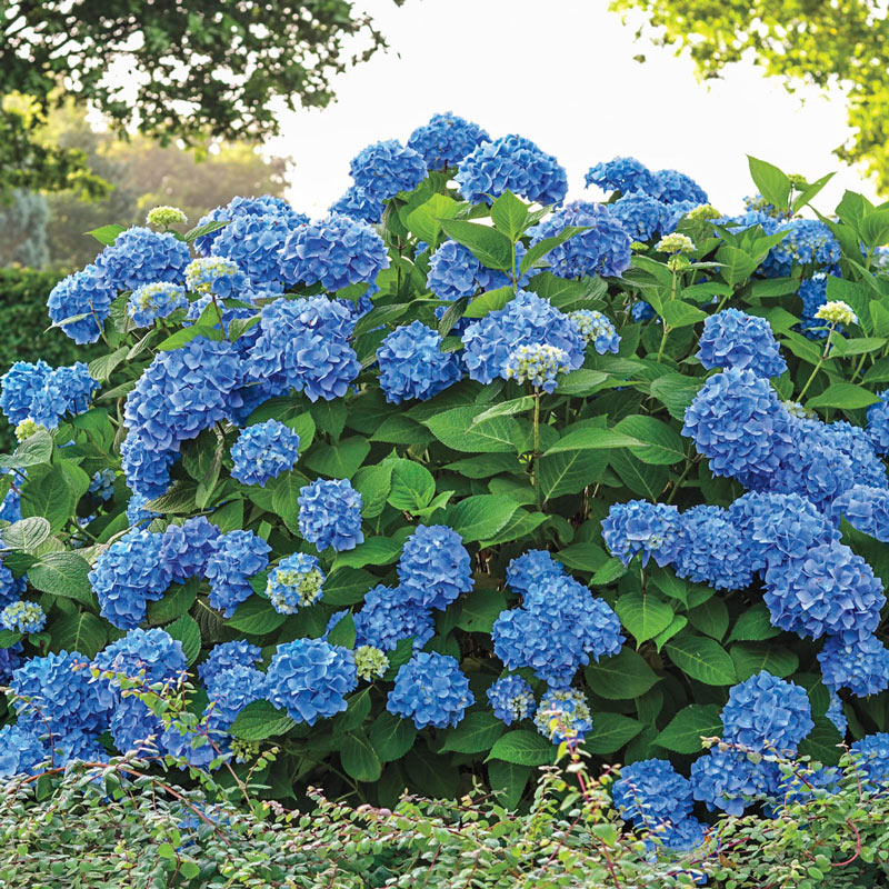 Acid Loving Endless Summer Hydrangea #Perennials #AcidLovingPerennials #AcidLovingPlants #Gardening #AcidicSoil
