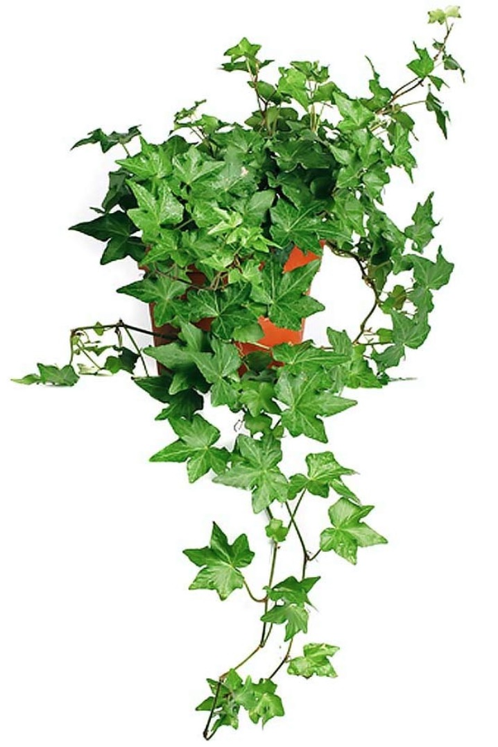 Improve Air Quality English Ivy Baltic Trailing Vine #HousePlants #AirCleaningPlants #AirPurifyingPlants #AirPurifyingHousePlants #IndoorPlants #CleanAir