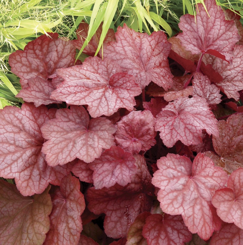 Plants that Thrive in Clay Soils Georgia Peach Heuchera #Perennials #ClayTolerantPerennials #PlantsThatThriveinClay #Gardening #ClaySoil #TolerantofClaySoils