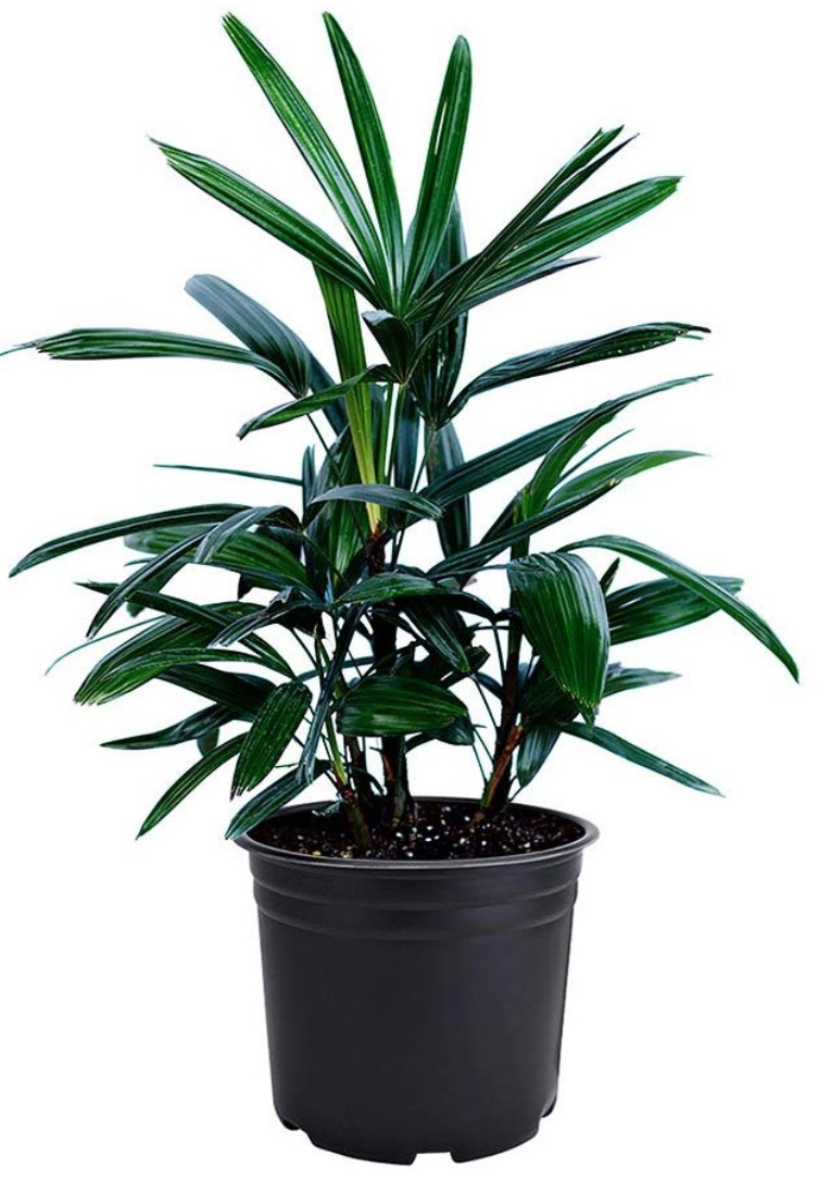 Cleaner Air Quality Lady Palm Rhapis Excelsa #HousePlants #AirCleaningPlants #AirPurifyingPlants #AirPurifyingHousePlants #IndoorPlants #CleanAir