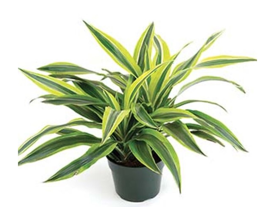 Improve Indoor Air Quality Lemon Lime Dracaena #HousePlants #AirCleaningPlants #AirPurifyingPlants #AirPurifyingHousePlants #IndoorPlants #CleanAir