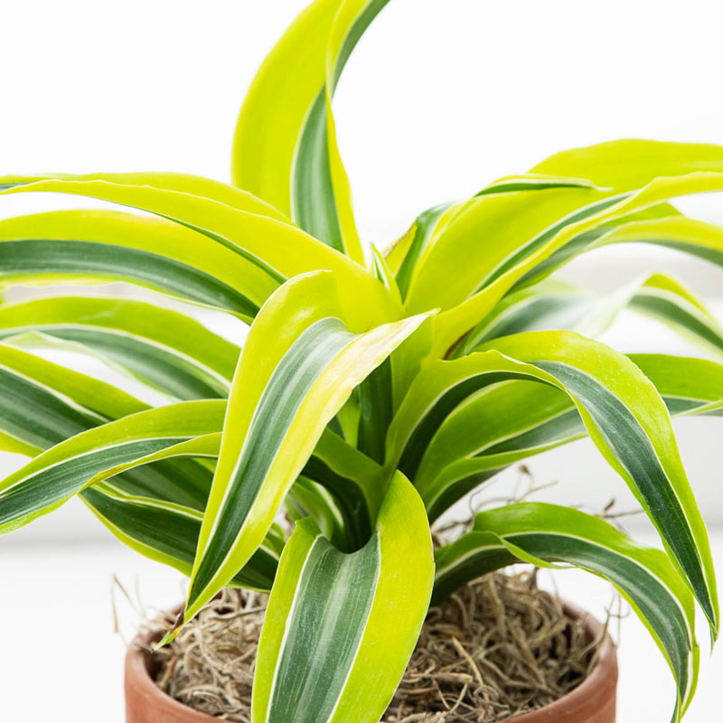 Clean Indoor Air Lemon Surprise Dracaena #HousePlants #AirCleaningPlants #AirPurifyingPlants #AirPurifyingHousePlants #IndoorPlants #CleanAir