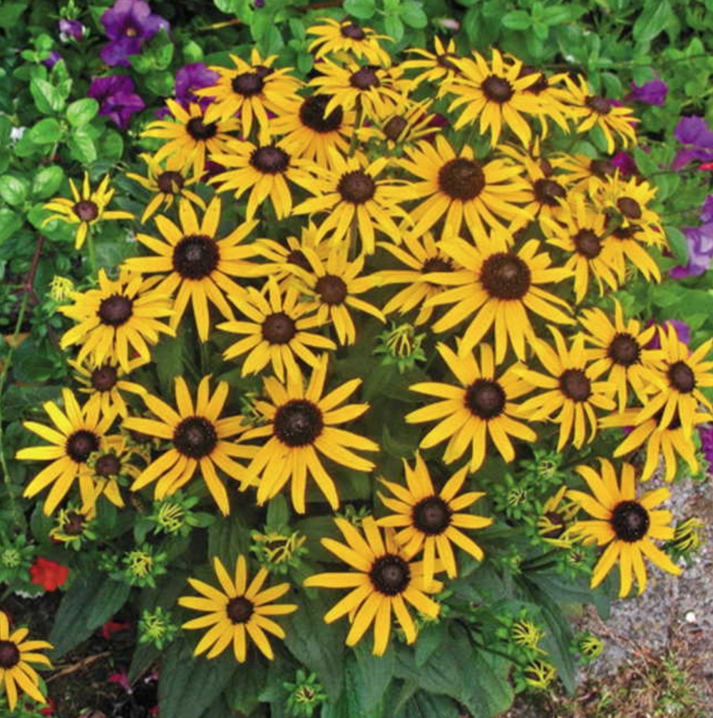 Nutrient Rich Soils Little Goldstar Rudbeckia #Perennials #ClayTolerantPerennials #PlantsThatThriveinClay #Gardening #ClaySoil #TolerantofClaySoils