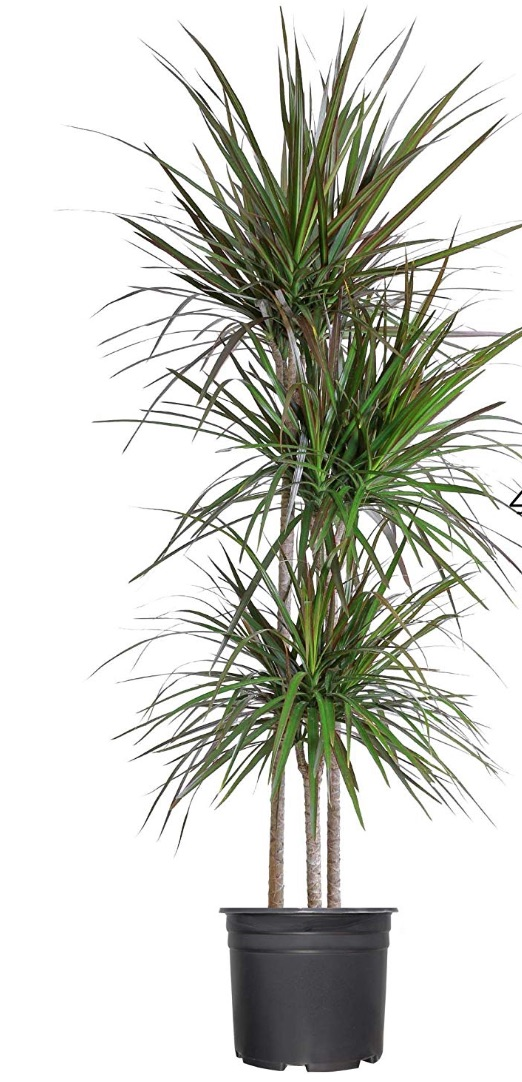 Air Purifying Plants - Madagascar Dragon Tree #HousePlants #AirCleaningPlants #AirPurifyingPlants #AirPurifyingHousePlants #IndoorPlants #CleanAir