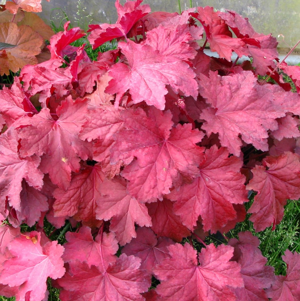 Plants that Thrive in Clay Soils Magma Heuchera #Perennials #ClayTolerantPerennials #PlantsThatThriveinClay #Gardening #ClaySoil #TolerantofClaySoils