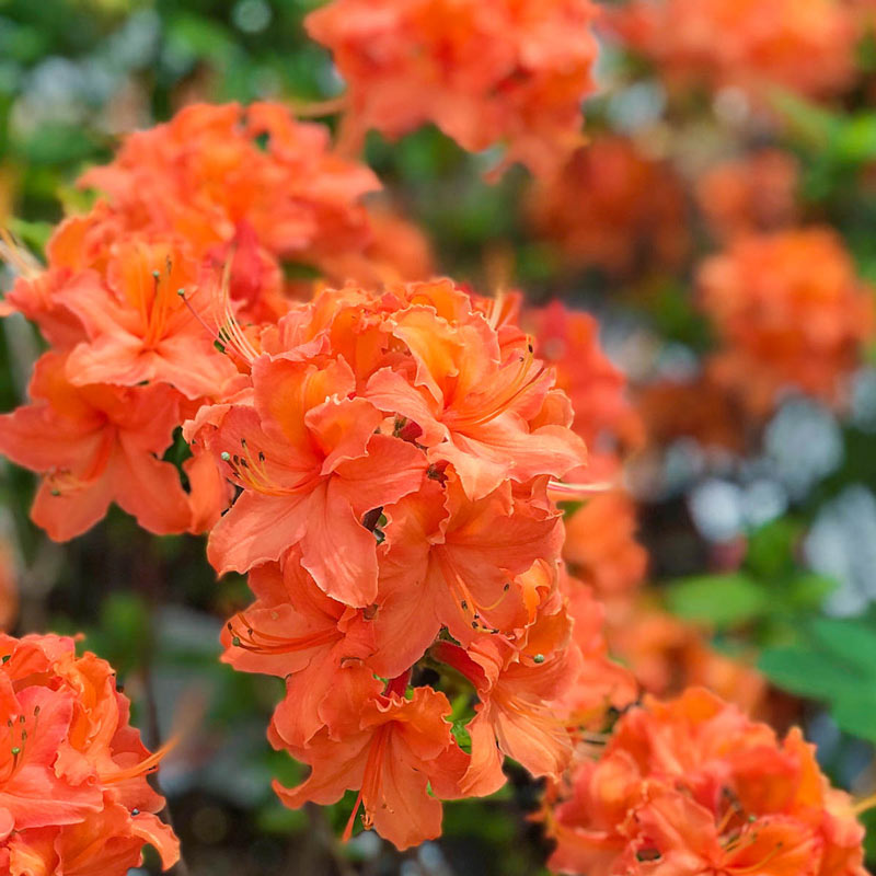 Acid Loving Mandarin Lights Azalea #Perennials #AcidLovingPerennials #AcidLovingPlants #Gardening #AcidicSoil