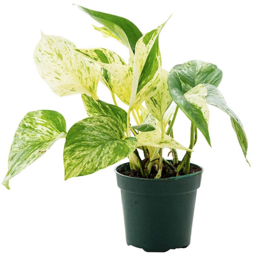 Air Purifying Plants Marble Queen Pothos #HousePlants #AirCleaningPlants #AirPurifyingPlants #AirPurifyingHousePlants #IndoorPlants #CleanAir