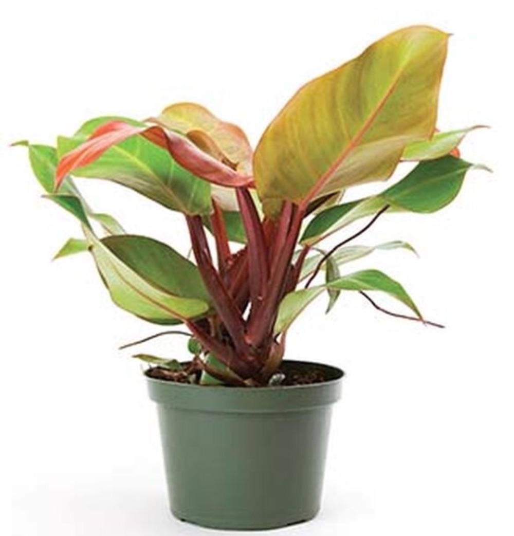 Improve Air Quality McColley's Finale Philodendron #HousePlants #AirCleaningPlants #AirPurifyingPlants #AirPurifyingHousePlants #IndoorPlants #CleanAir