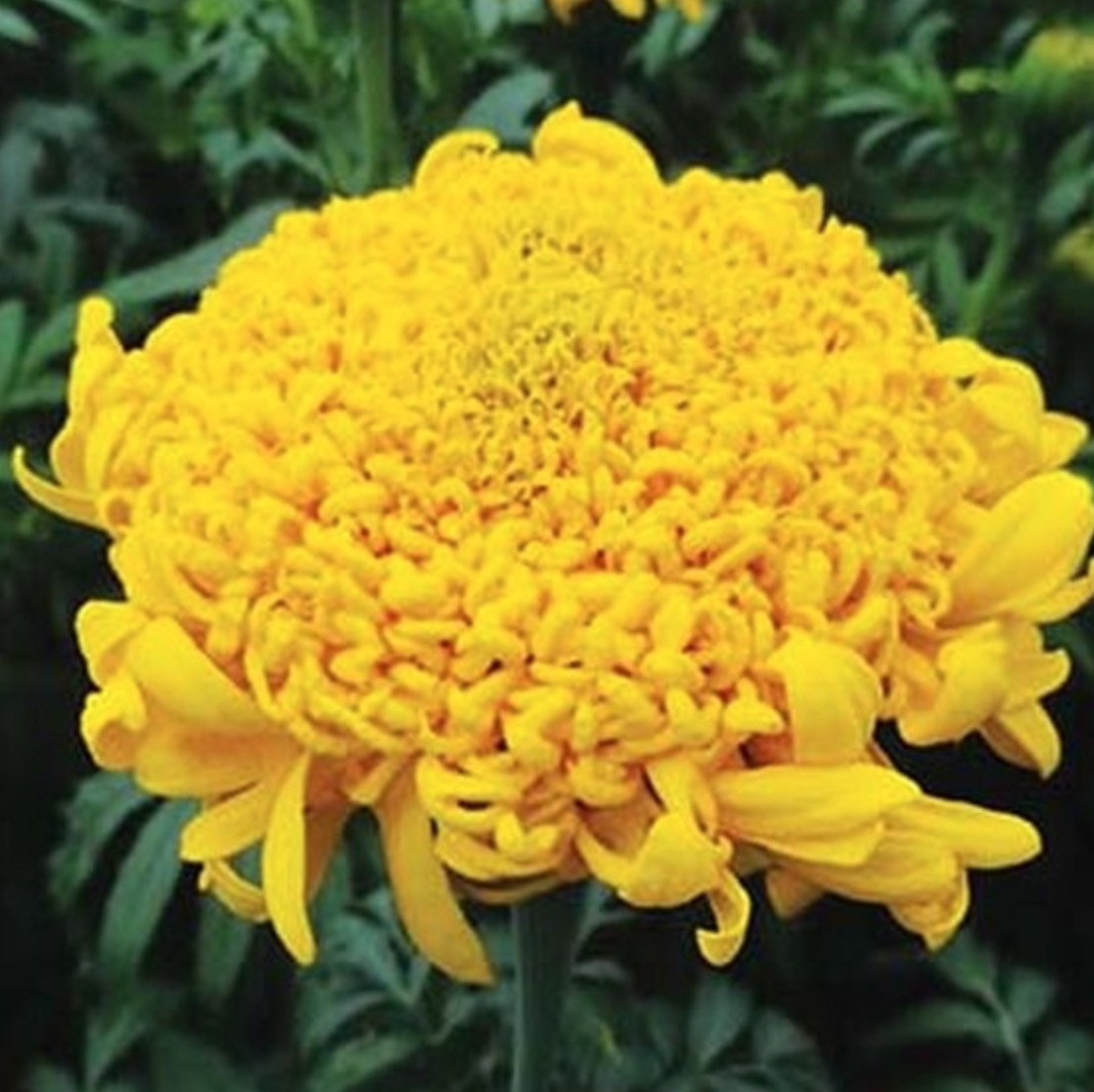 Plants that Love Acidic Soil Mission Giant Yellow Marigold #Perennials #AcidLovingPerennials #AcidLovingPlants #Gardening #AcidicSoil