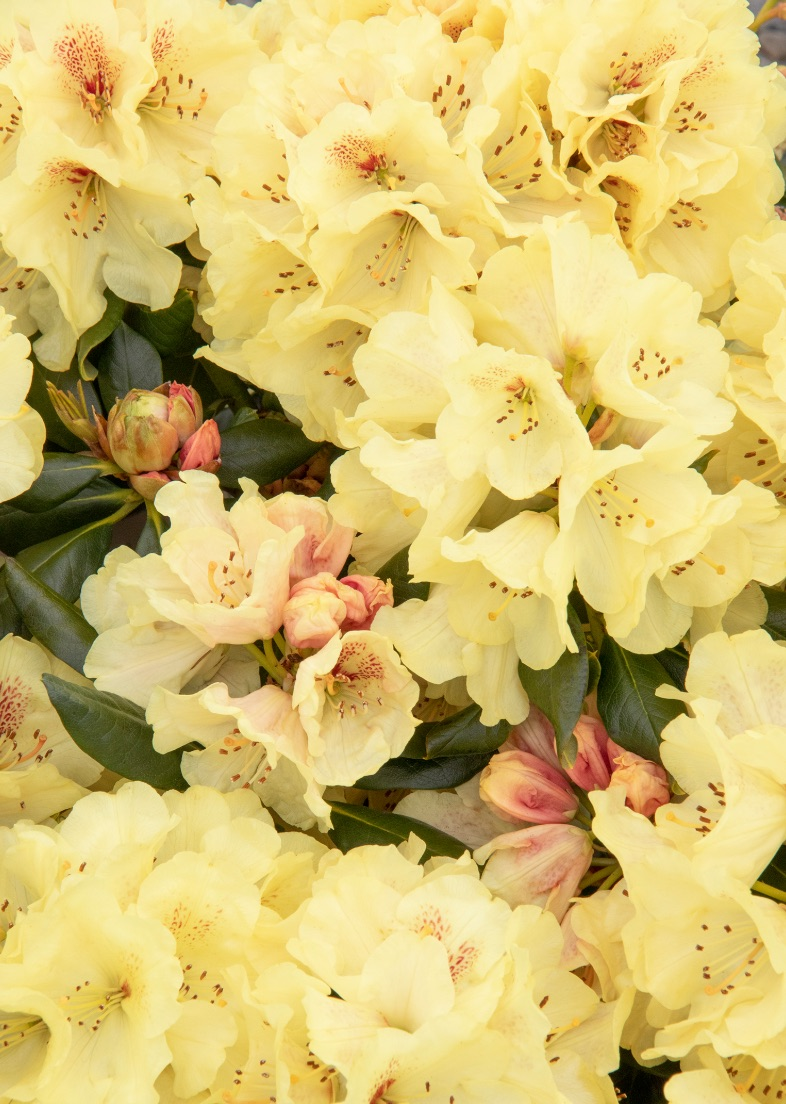 Plants that Thrive in Acidic Soils Miyama Gold Prinz Rhododendron #Perennials #AcidLovingPerennials #AcidLovingPlants #Gardening #AcidicSoil
