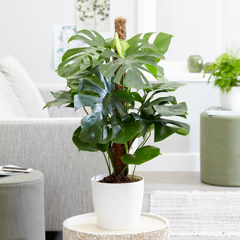Air Purifying Plants Monstera Philodendron #HousePlants #AirCleaningPlants #AirPurifyingPlants #AirPurifyingHousePlants #IndoorPlants #CleanAir