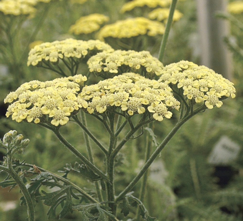 Soil Rich in Nutrients Moon Dust Yarrow #Perennials #ClayTolerantPerennials #PlantsThatThriveinClay #Gardening #ClaySoil #TolerantofClaySoils