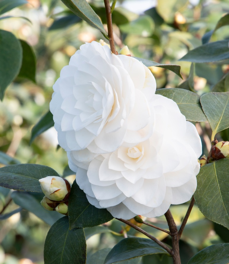Plants that Thrive in Acidic Soils Nuccios Gem Camellia #Perennials #AcidLovingPerennials #AcidLovingPlants #Gardening #AcidicSoil