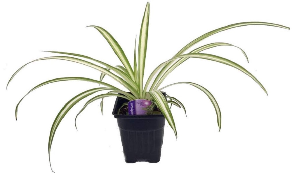 Air Purifying Plants Ocean Spider Plant #HousePlants #AirCleaningPlants #AirPurifyingPlants #AirPurifyingHousePlants #IndoorPlants #CleanAir