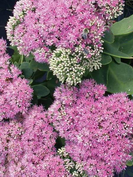 Nutrient Rich Clay Pink Bomb Sedum #Perennials #ClayTolerantPerennials #PlantsThatThriveinClay #Gardening #ClaySoil #TolerantofClaySoils