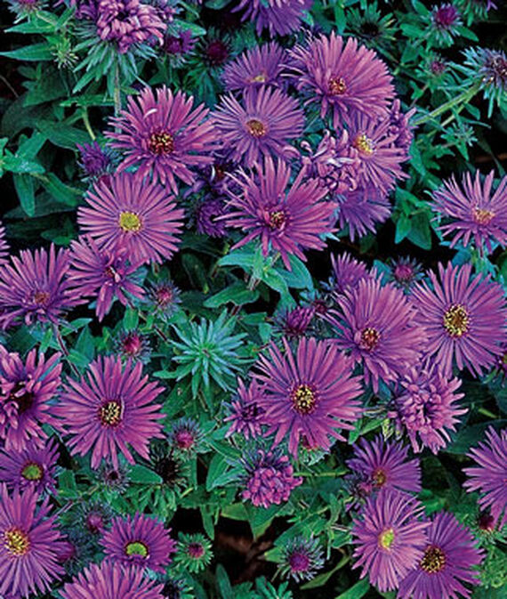 Nutrient Rich Soil Purple Dome Aster #Perennials #ClayTolerantPerennials #PlantsThatThriveinClay #Gardening #ClaySoil #TolerantofClaySoils