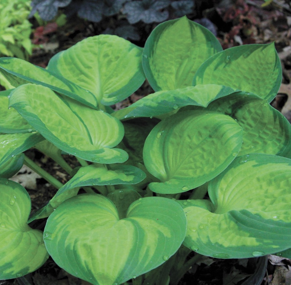 Plants that Thrive in Clay Soils Rainforest Sunrise Hosta #Perennials #ClayTolerantPerennials #PlantsThatThriveinClay #Gardening #ClaySoil #TolerantofClaySoils