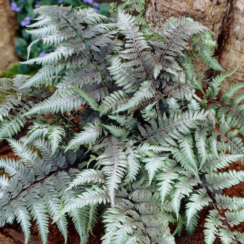 Nutrient Rich Clay Red Beauty Japanese Painted Fern #Perennials #ClayTolerantPerennials #PlantsThatThriveinClay #Gardening #ClaySoil #TolerantofClaySoils
