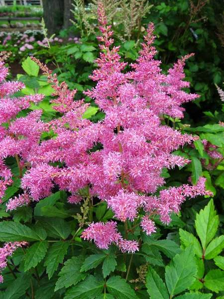 Thrive in Clay Soils Rhythm and Blues Astilbe #Perennials #ClayTolerantPerennials #PlantsThatThriveinClay #Gardening #ClaySoil #TolerantofClaySoils