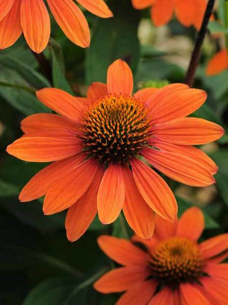 Nutrient Rich Clay Sombrero Adobe Orange Echinacea #Perennials #ClayTolerantPerennials #PlantsThatThriveinClay #Gardening #ClaySoil #TolerantofClaySoils