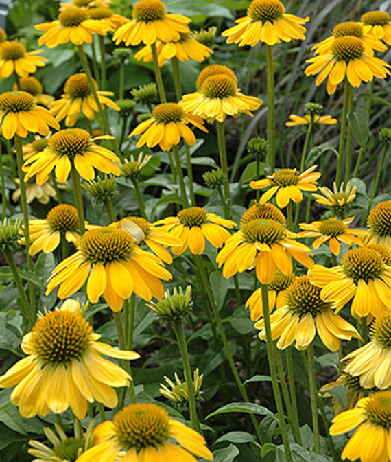Plants that Thrive in Clay Soils Sombrero Lemon Yellow Echinacea #Perennials #ClayTolerantPerennials #PlantsThatThriveinClay #Gardening #ClaySoil #TolerantofClaySoils
