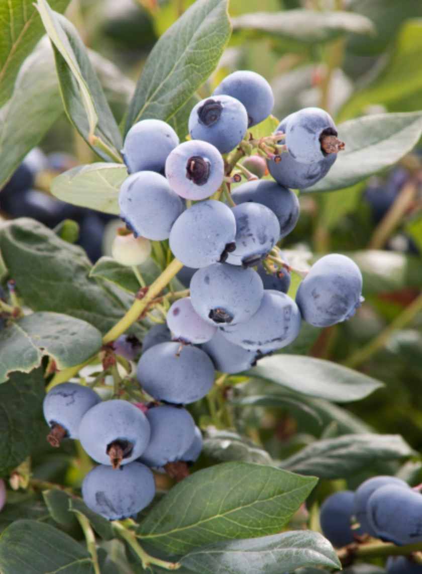 Acid Lovers Sunshine Blue Blueberry #Perennials #AcidLovingPerennials #AcidLovingPlants #Gardening #AcidicSoil