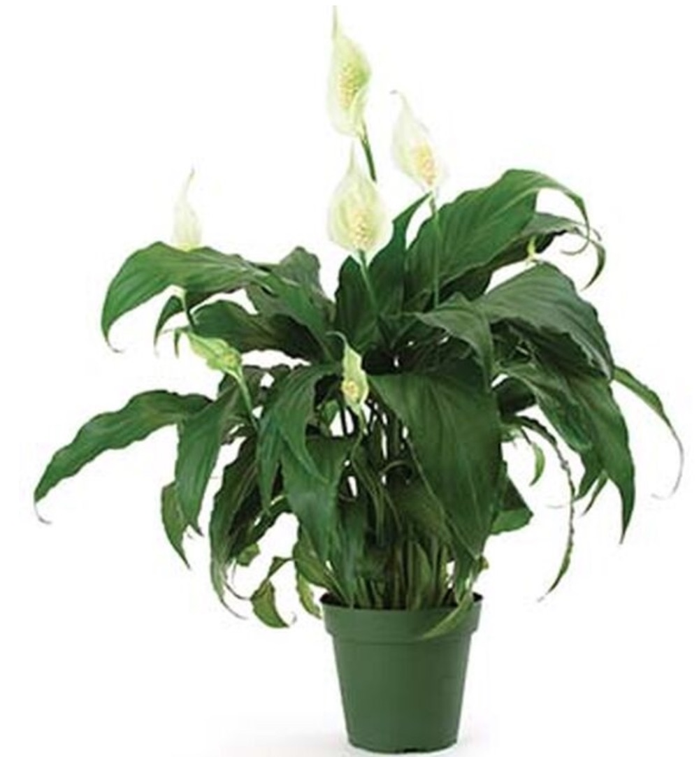 Clean Air Home Sweet Chico Spathiphyllum #HousePlants #AirCleaningPlants #AirPurifyingPlants #AirPurifyingHousePlants #IndoorPlants #CleanAir