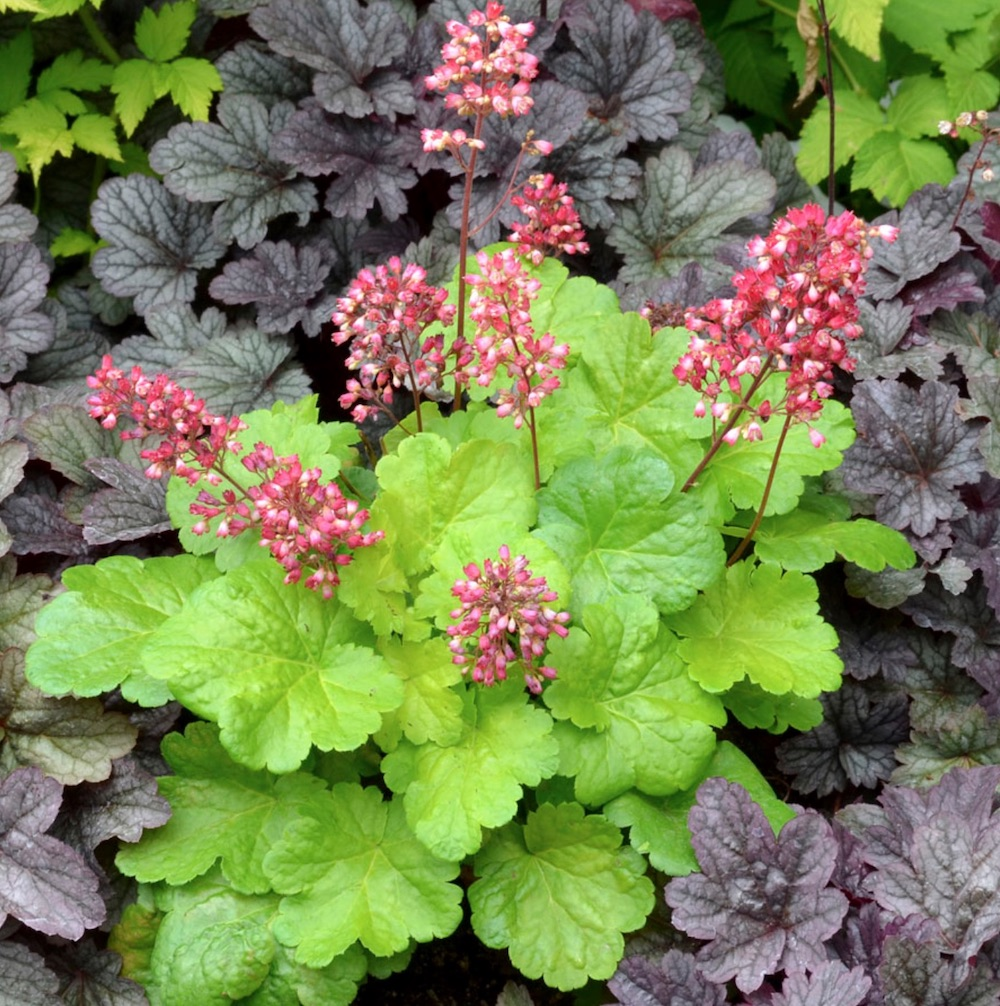 Nutrient Rich Clay Sweet Tart Heuchera #Perennials #ClayTolerantPerennials #PlantsThatThriveinClay #Gardening #ClaySoil #TolerantofClaySoils