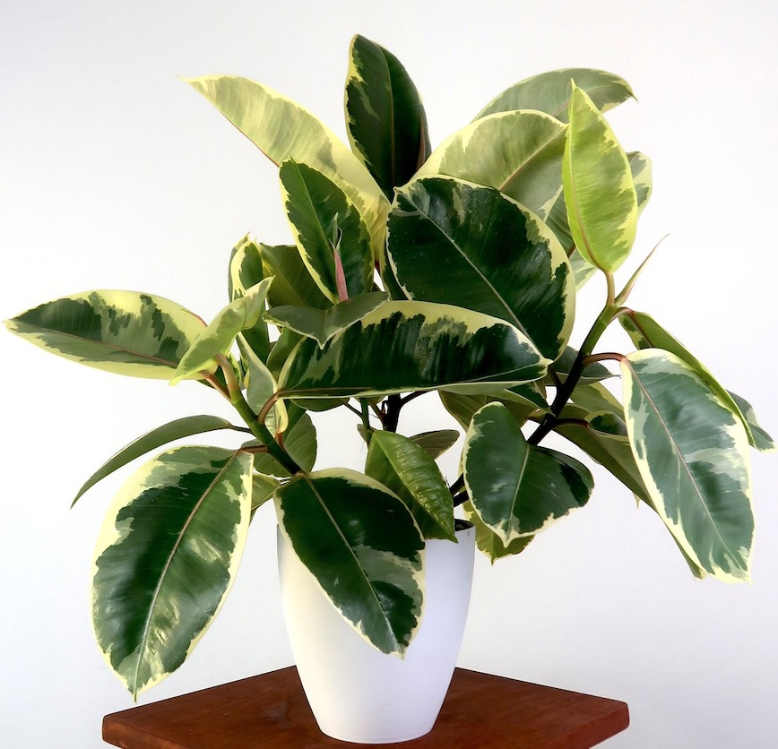 Air Purifying Plants Variegated Rubber Plant Ruby #HousePlants #AirCleaningPlants #AirPurifyingPlants #AirPurifyingHousePlants #IndoorPlants #CleanAir