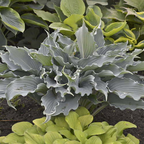 Soils with Rich Nutrients Waterslide Hosta #Perennials #ClayTolerantPerennials #PlantsThatThriveinClay #Gardening #ClaySoil #TolerantofClaySoils