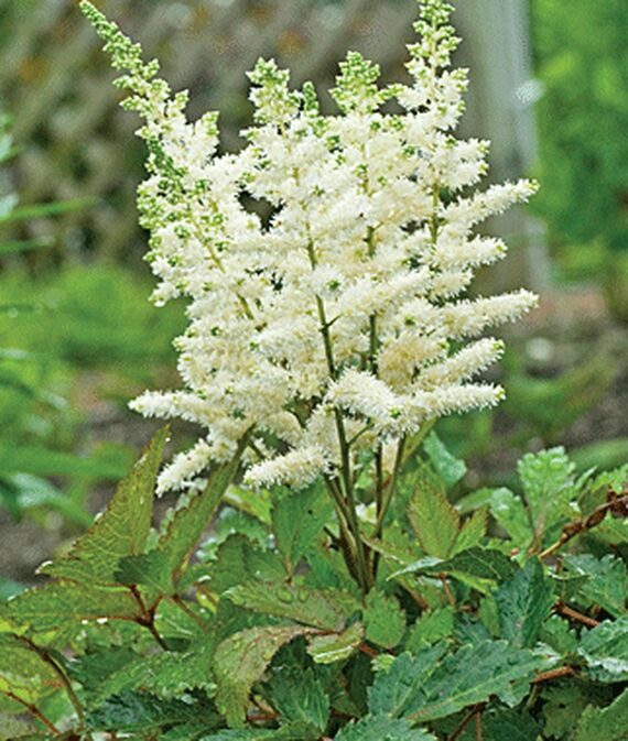 Nutrient Rich Soil Younique White Astilbe #Perennials #ClayTolerantPerennials #PlantsThatThriveinClay #Gardening #ClaySoil #TolerantofClaySoils