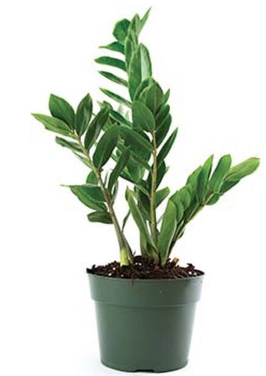 Improve Air Quality ZZ Plant #HousePlants #AirCleaningPlants #AirPurifyingPlants #AirPurifyingHousePlants #IndoorPlants #CleanAir