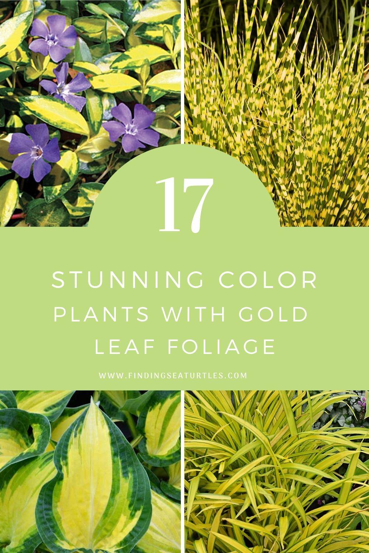 17 Stunning Color Plants with Gold Leaf Foliage #GoldFoliage #PlantswithGoldLeaves #DramaticFoliagePlants #Gardening #Landscapes #GoldLeafPlants