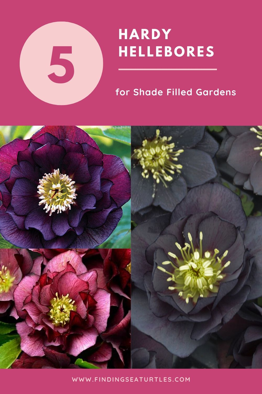 5 Hardy Hellebores for Shade Filled Gardens #Perennials #Garden #Gardening #HelleborusPerennials #Helleborus #LentenRose #ShadeLovingPlants #ShadeLovers #SpringBloomingPlants