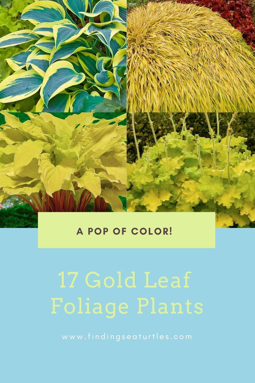 A pop of color! 17 Gold Leaf Foliage Plants #GoldFoliage #PlantswithGoldLeaves #DramaticFoliagePlants #Gardening #Landscapes #GoldLeafPlants