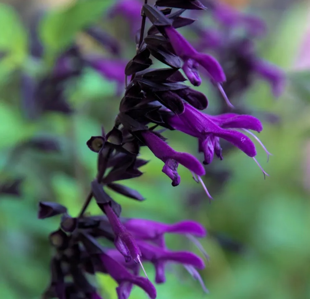 Gardening Solutions Amistad Salvia #Hummingbirds #Garden #Gardening #Plants #GardenPollinators #AttractHummingbirds #NectarRichPlants #BeneficialForPollinators