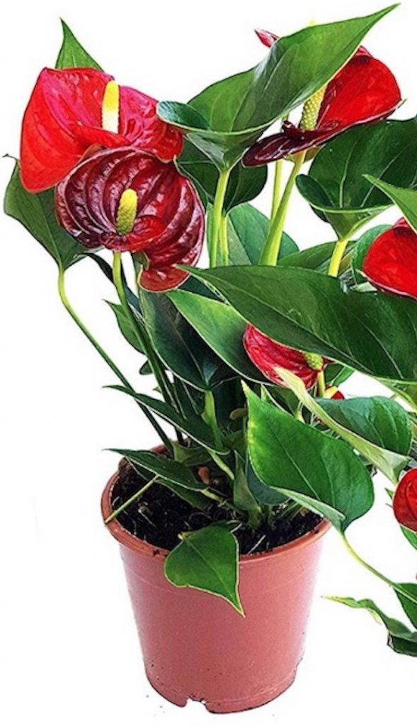 Spa Greenery Anthurium Red #Spa #bathroom #HomeSpa #PamperYourself #SpaAccessories #MeTime #BathSpa #DIYHomeSpa #Relax #Soothing