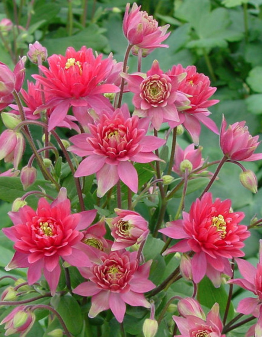 Plants that attract hummingbirds Aquilegia Clementine Red #Hummingbirds #Garden #Gardening #Plants #GardenPollinators #AttractHummingbirds #NectarRichPlants #BeneficialForPollinators