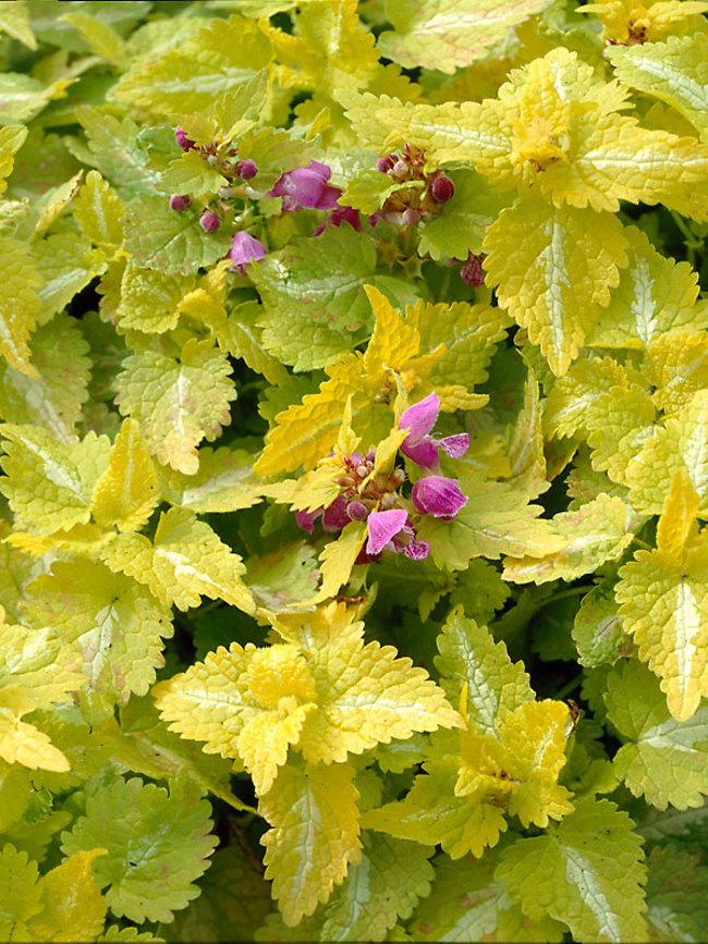 Aureum Lamium #GoldFoliage #PlantswithGoldLeaves #DramaticFoliagePlants #Gardening #Landscapes #GoldLeafPlants