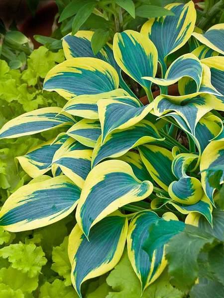 Autumn Frost Hosta #GoldFoliage #PlantswithGoldLeaves #DramaticFoliagePlants #Gardening #Landscapes #GoldLeafPlants
