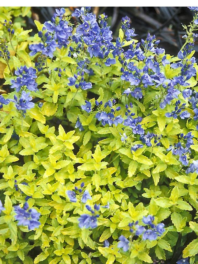 Aztec Gold Veronica #GoldFoliage #PlantswithGoldLeaves #DramaticFoliagePlants #Gardening #Landscapes #GoldLeafPlants