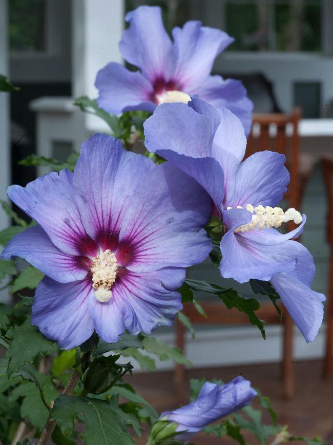 Azurri Blue Satin Hibiscus #Garden #Plants #Gardening #PlantswithBlueFlowers #PlantswithBlueBlooms #BluePlants #DramaticFoliagePlants