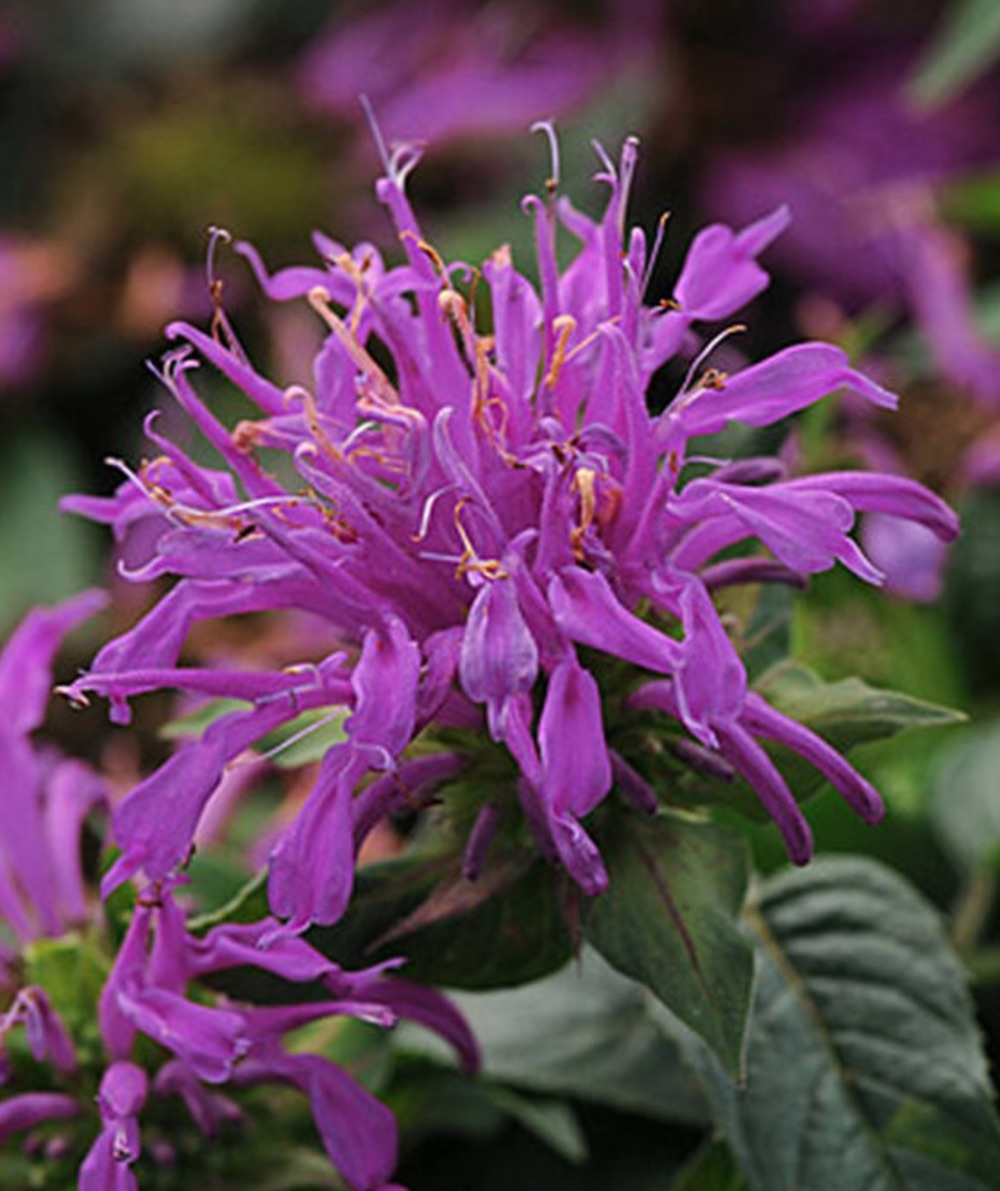 Plants that Attract Hummingbirds - Balmy Lilac Monarda #Hummingbirds #Garden #Gardening #Plants #GardenPollinators #AttractHummingbirds #NectarRichPlants #BeneficialForPollinators