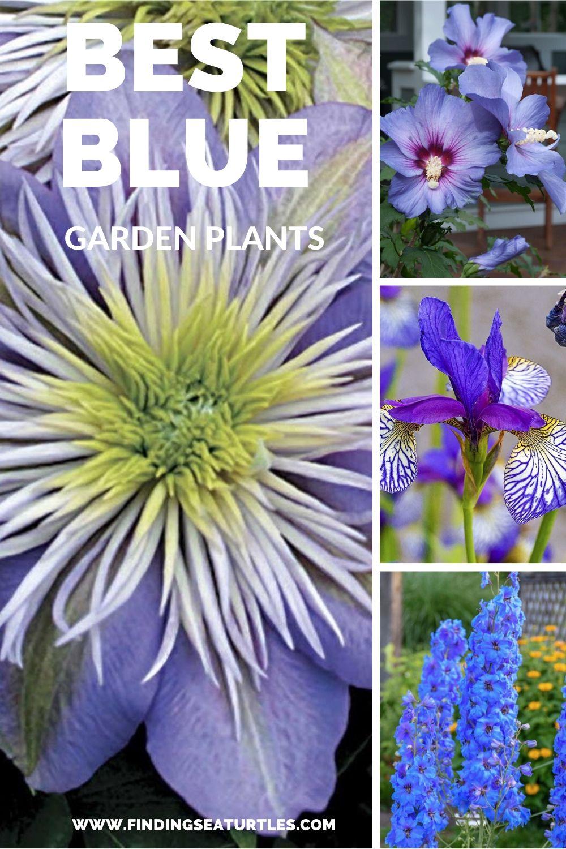 Best Blue Garden Plants #Garden #Plants #Gardening #PlantswithBlueFlowers #PlantswithBlueBlooms #BluePlants #DramaticFoliagePlants